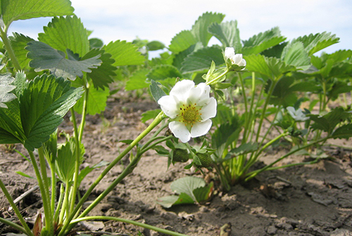 ekebacken-jordgubbsplanta-m-blomma