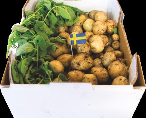 svensk farskpotatis arets forsta