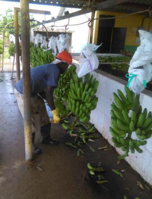 Ekooké -bananstockar anländer