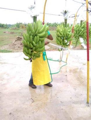Ekooké -bananstockarna tvättas