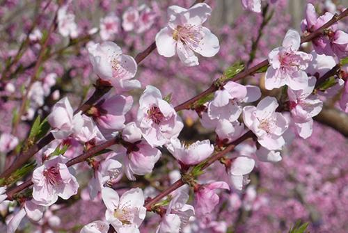 Louis-favel-nektarinblommor