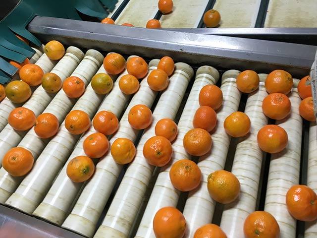 citrus-bouquet-packhus-sortering-clementiner-IMG_1017