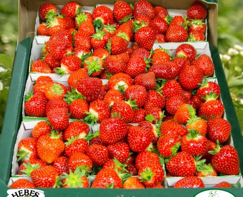 Eriksgarden-jordgubbar-rumba