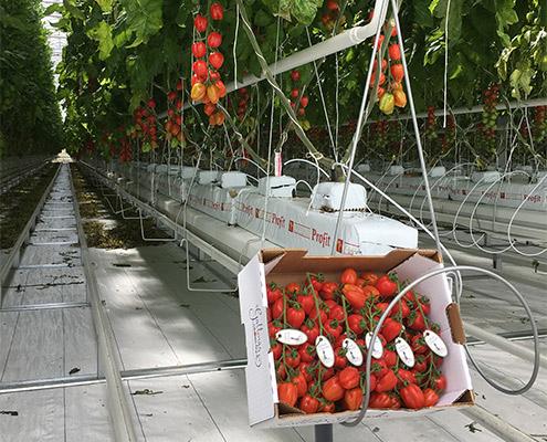jordgubbskvist-lada-i-vaxthus