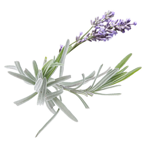 lavendel-m-blomma-IMG_8025