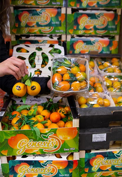 clementiner-m-blad-clemenrubi-genesis-pall-IMG_3191